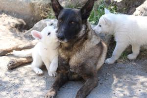 White-Swiss-Shepherd-Puppies-BTWW-I-Litter-140419-0086