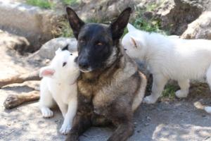 White-Swiss-Shepherd-Puppies-BTWW-I-Litter-140419-0087