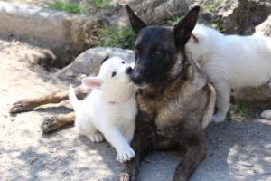 White-Swiss-Shepherd-Puppies-BTWW-I-Litter-140419-0088