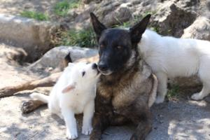 White-Swiss-Shepherd-Puppies-BTWW-I-Litter-140419-0089