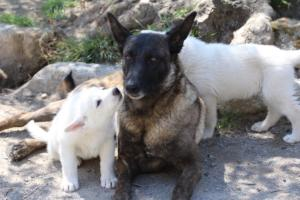 White-Swiss-Shepherd-Puppies-BTWW-I-Litter-140419-0090