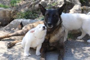 White-Swiss-Shepherd-Puppies-BTWW-I-Litter-140419-0091