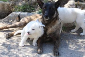White-Swiss-Shepherd-Puppies-BTWW-I-Litter-140419-0092