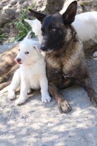 White-Swiss-Shepherd-Puppies-BTWW-I-Litter-140419-0093