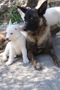 White-Swiss-Shepherd-Puppies-BTWW-I-Litter-140419-0094