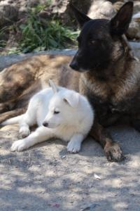 White-Swiss-Shepherd-Puppies-BTWW-I-Litter-140419-0095
