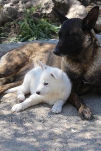White-Swiss-Shepherd-Puppies-BTWW-I-Litter-140419-0096