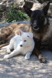 White-Swiss-Shepherd-Puppies-BTWW-I-Litter-140419-0097