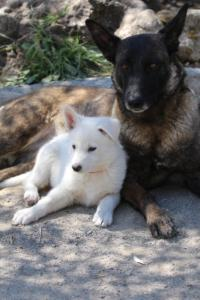 White-Swiss-Shepherd-Puppies-BTWW-I-Litter-140419-0098