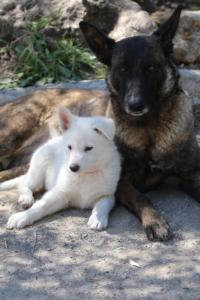 White-Swiss-Shepherd-Puppies-BTWW-I-Litter-140419-0099