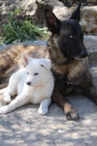 White-Swiss-Shepherd-Puppies-BTWW-I-Litter-140419-0100