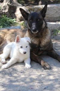 White-Swiss-Shepherd-Puppies-BTWW-I-Litter-140419-0101