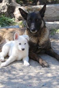White-Swiss-Shepherd-Puppies-BTWW-I-Litter-140419-0102