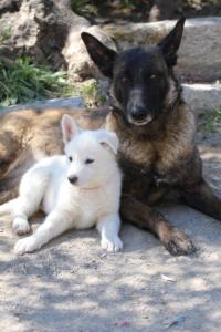 White-Swiss-Shepherd-Puppies-BTWW-I-Litter-140419-0103