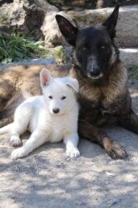 White-Swiss-Shepherd-Puppies-BTWW-I-Litter-140419-0104
