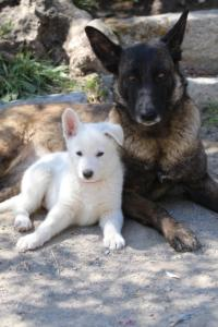 White-Swiss-Shepherd-Puppies-BTWW-I-Litter-140419-0105