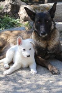 White-Swiss-Shepherd-Puppies-BTWW-I-Litter-140419-0106