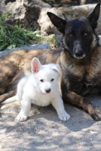 White-Swiss-Shepherd-Puppies-BTWW-I-Litter-140419-0107
