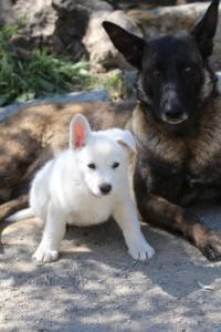White-Swiss-Shepherd-Puppies-BTWW-I-Litter-140419-0108