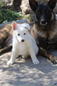 White-Swiss-Shepherd-Puppies-BTWW-I-Litter-140419-0109