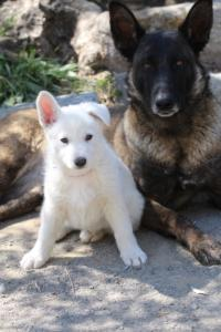 White-Swiss-Shepherd-Puppies-BTWW-I-Litter-140419-0110