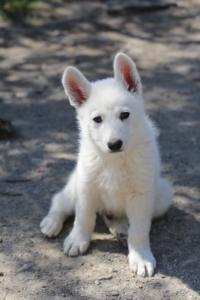 White-Swiss-Shepherd-Puppies-BTWW-I-Litter-140419-0111