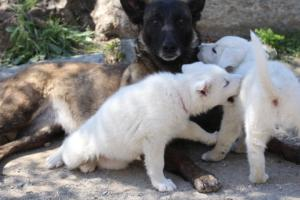 White-Swiss-Shepherd-Puppies-BTWW-I-Litter-140419-0114