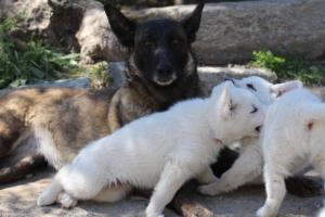 White-Swiss-Shepherd-Puppies-BTWW-I-Litter-140419-0115