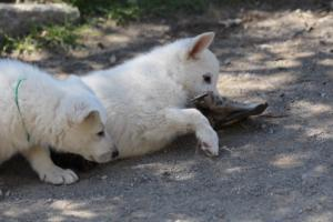 White-Swiss-Shepherd-Puppies-BTWW-I-Litter-140419-0116