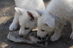 White-Swiss-Shepherd-Puppies-BTWW-I-Litter-140419-0122