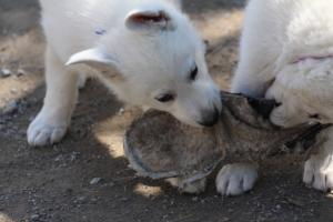 White-Swiss-Shepherd-Puppies-BTWW-I-Litter-140419-0123