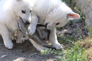 White-Swiss-Shepherd-Puppies-BTWW-I-Litter-140419-0124