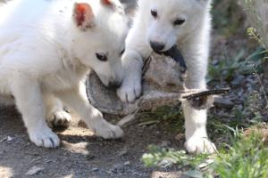 White-Swiss-Shepherd-Puppies-BTWW-I-Litter-140419-0125