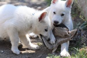 White-Swiss-Shepherd-Puppies-BTWW-I-Litter-140419-0126