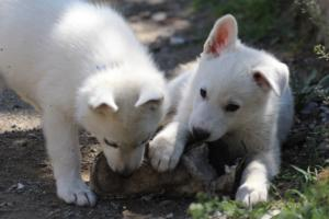 White-Swiss-Shepherd-Puppies-BTWW-I-Litter-140419-0127