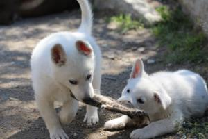 White-Swiss-Shepherd-Puppies-BTWW-I-Litter-140419-0128