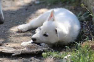 White-Swiss-Shepherd-Puppies-BTWW-I-Litter-140419-0129