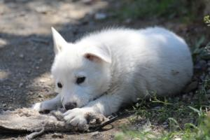 White-Swiss-Shepherd-Puppies-BTWW-I-Litter-140419-0130