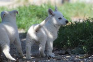 White-Swiss-Shepherd-Puppies-BTWW-I-Litter-140419-0131