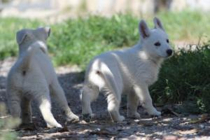 White-Swiss-Shepherd-Puppies-BTWW-I-Litter-140419-0132