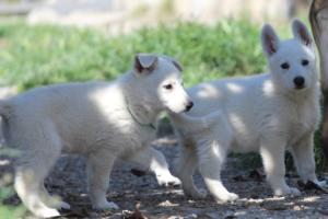White-Swiss-Shepherd-Puppies-BTWW-I-Litter-140419-0133