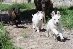 White-Swiss-Shepherd-Puppies-BTWW-I-Litter-140419-0134