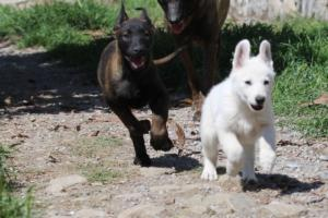 White-Swiss-Shepherd-Puppies-BTWW-I-Litter-140419-0135