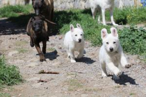 White-Swiss-Shepherd-Puppies-BTWW-I-Litter-140419-0136