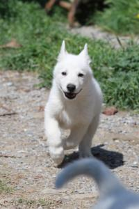 White-Swiss-Shepherd-Puppies-BTWW-I-Litter-140419-0138