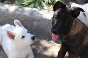 White-Swiss-Shepherd-Puppies-BTWW-I-Litter-140419-0141