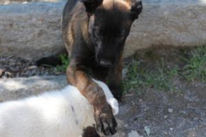 White-Swiss-Shepherd-Puppies-BTWW-I-Litter-140419-0143