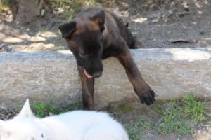 White-Swiss-Shepherd-Puppies-BTWW-I-Litter-140419-0148