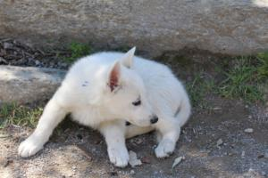 White-Swiss-Shepherd-Puppies-BTWW-I-Litter-140419-0149
