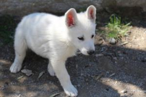 White-Swiss-Shepherd-Puppies-BTWW-I-Litter-140419-0150